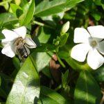 weißes Immergrün mit Biene