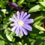 Anemone Blanda eine der ersten Blumen im Frühjahr