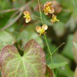 immergrüner Elfenspiegel hat kleine Blüten die über den Blätter scheinbar über den Blätter schweben
