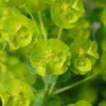 Wolfsmilch, die Euphorbiablüten sind farblos aber unheimlich schön