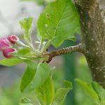Pflaumenblütenknospe