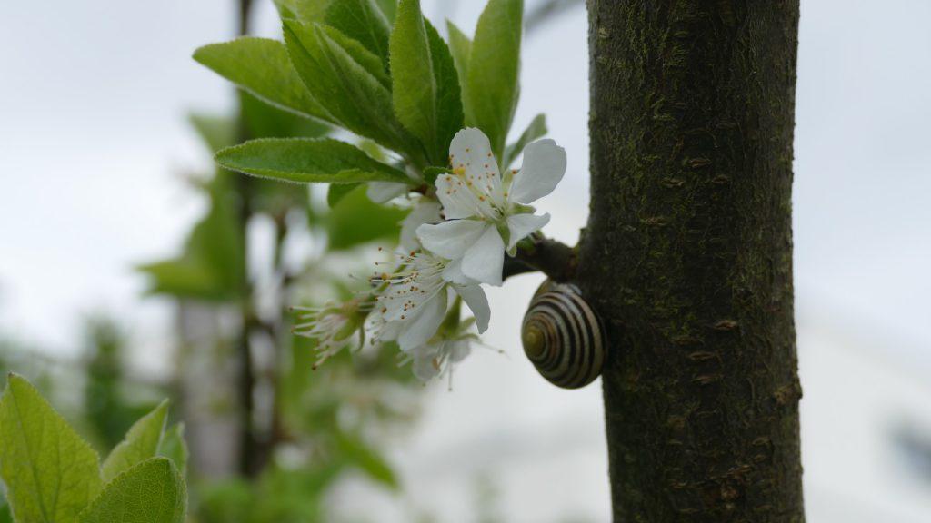 Schnirkelschnecke bei Apfelblüte