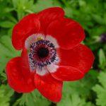 DIe Anemone, eine wunderhübsche elegante Blume