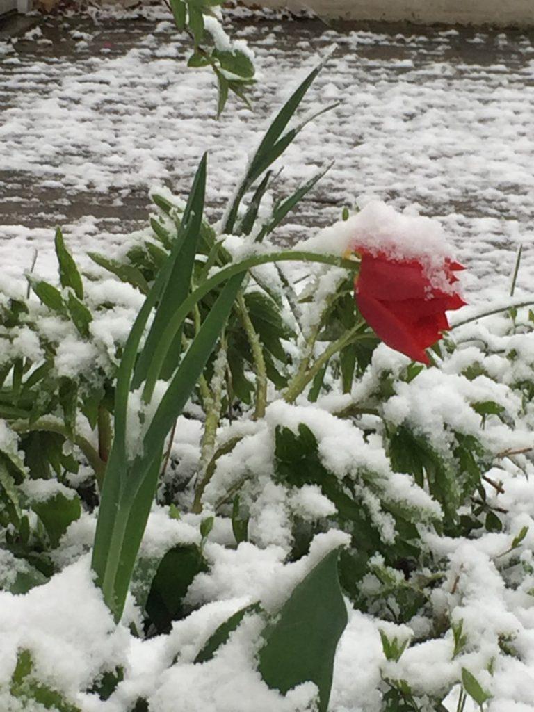 rote beschneite Tulpe