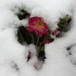 schaut da eine Primel aus dem Schnee?