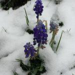 Traubenhyazinten im Schnee