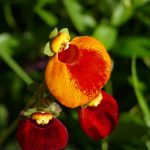 Pantoffelblume - unförmig aber fazinierend