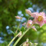 rosa Akelei vermehrt sich sehr zuverlässig und ist anspruchslos