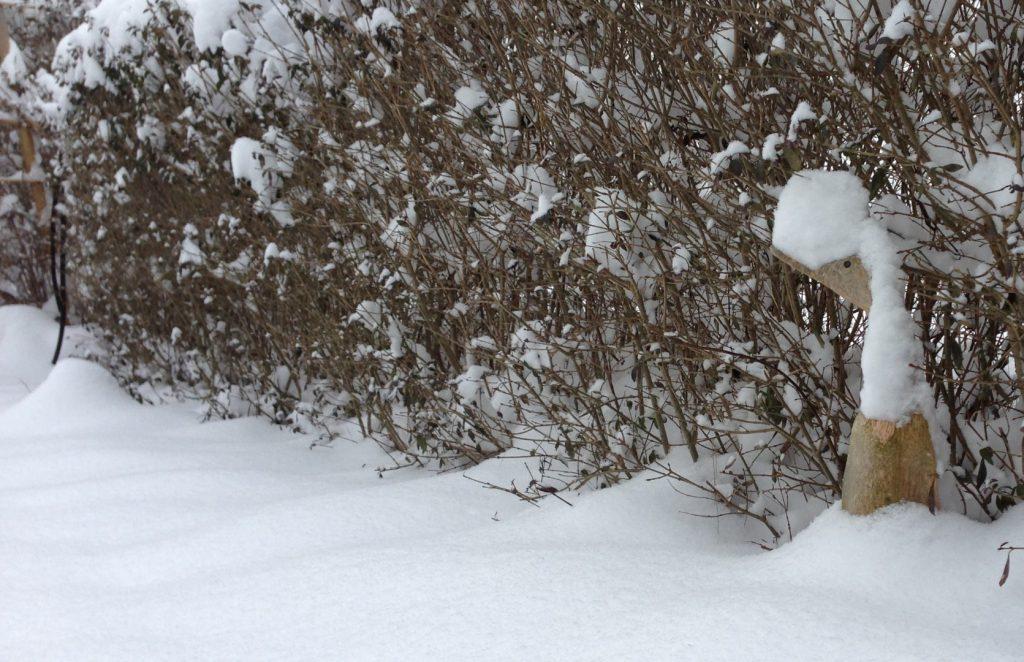 viel Schnee auf der Ligusterhecke, die Holzente schau noch heraus