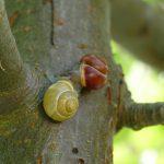 zwei Schnirkelschnecken auf dem Apfelbaum