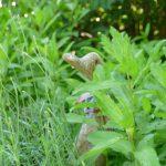 DIe Holzente zwischen Lavendel und Minze