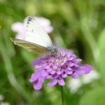 Weißling auf Sommerblüte