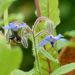 Biene auf einer Borretschblüte