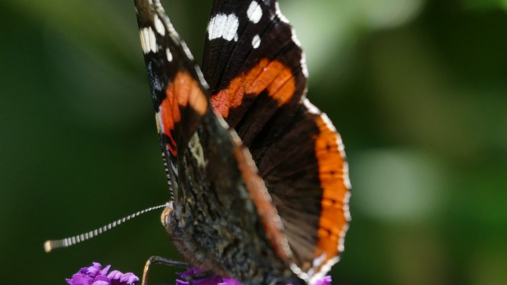 Der Admiral ist ein prachtvoller Schmetterling