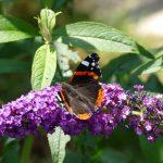 Schmetterlinge lieben Buddleja