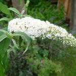 weißer Sommerflieder Buddleja Schmetterlingsmagnet i