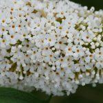 weißer Sommerflieder in Großaufnahme mit Ameise