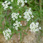 kleine weiße Blüten, niedrig wachsend