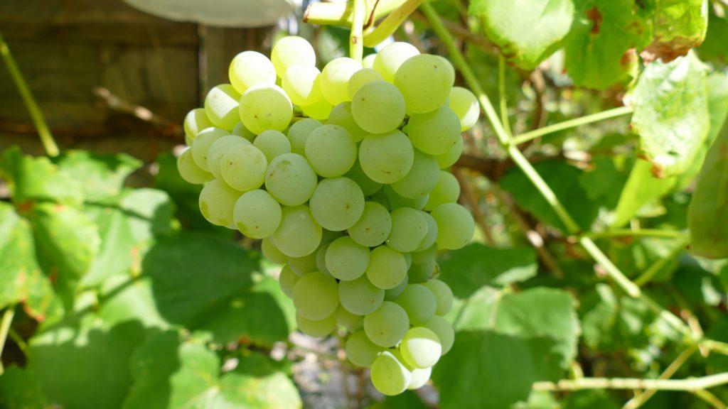grüne süße kernlose Weintraube