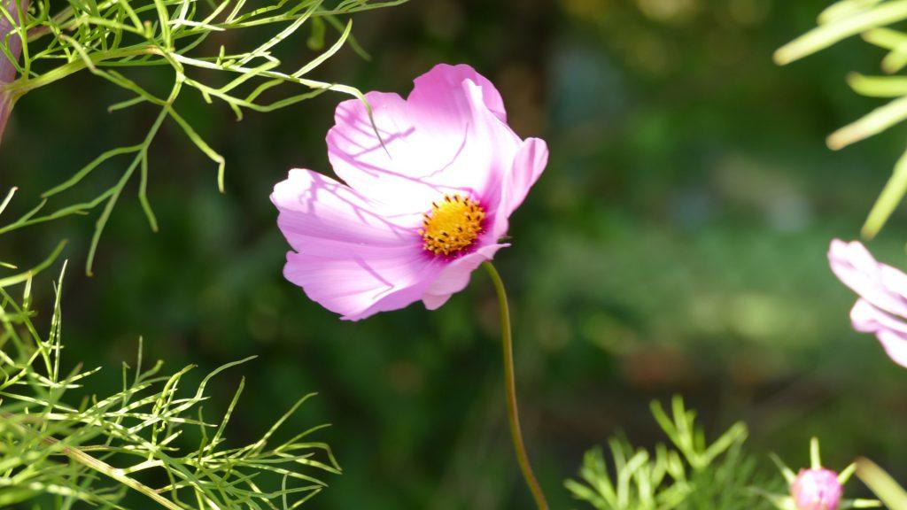 die lila Kosmee ist sehr filigran