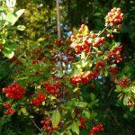 roter Feuerdorn, leckere Beeren für die Vögel