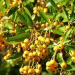 gelber Feuerdorn, leckere Beeren für die Vögel