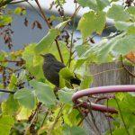Eine Amsel sitzt im Wein und beobachtet den Garten