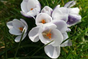 weiße Krokusse im Frühling im Garten Staeves